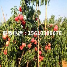 桃树小苗产地在哪里、桃树小苗批发出售
