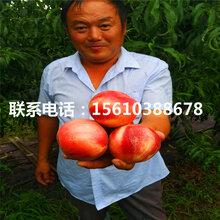 巨桃树苗、巨桃树苗价格多少