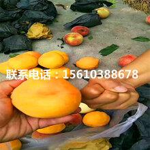 春丽桃树苗一亩地产多少斤、春丽桃树苗栽培技术