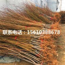 2019年水蜜桃树苗种植技术
