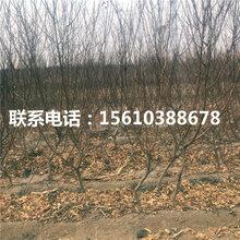 秋雪桃树苗出售单价、秋雪桃树苗基地