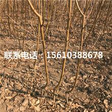 晚熟桃树苗多少钱一棵、晚熟桃树苗批发厂家