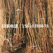 新品种永莲蜜桃2号桃树苗种植技术图片