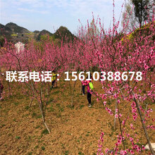 新品种仓方早生桃树苗种植技术