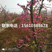 93桃树苗出售单价、93桃树苗附近哪里有
