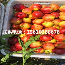 山东蒙阴霜红桃树苗什么价格