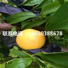 毛桃树苗图片、毛桃树苗价格哪里便宜