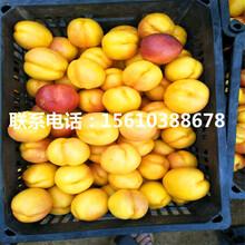 桃树苗批发单价、桃树苗出售供应图片