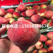 桃树小苗价格、桃树小苗哪里出售图片