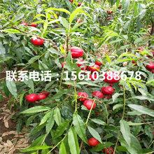 冬桃树苗出售单价、冬桃树苗多少钱一株