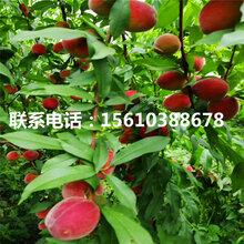 曦春桃树苗出售价格、曦春桃树苗栽培技术