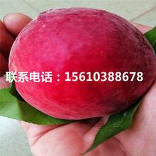 新品种永莲蜜桃6号桃树苗出售价钱