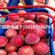 山东黄冠桃树苗出售价格是多少