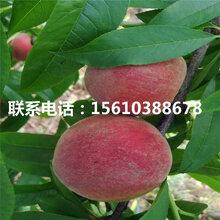 早熟桃树苗几年结果、早熟桃树苗附近哪里有