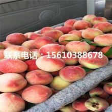 2019年水蜜桃树苗栽培技术