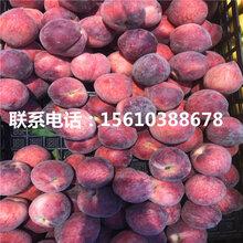 毛桃树苗品种、毛桃树苗价格及报价