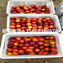 春雪桃树苗出售基地、春雪桃树苗多少钱一棵