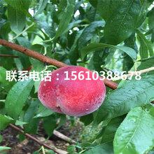 春晓桃树苗一亩地栽多少棵、春晓桃树苗批发价格