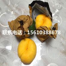 桃树苗一棵多少钱、桃树苗批发哪里便宜