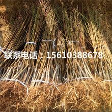 2019年双红夏丽桃树苗图片