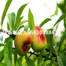 水蜜桃树苗简介、水蜜桃树苗产量多少