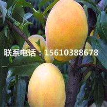 毛桃树苗一棵多少钱、毛桃树苗哪里有卖的