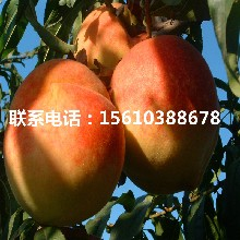 艳红桃树苗多少钱、艳红桃树苗价格多少