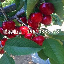 两年生樱桃苗金顶红樱桃苗、金顶红樱桃苗价格及报价