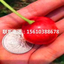 6公分樱桃苗乌克兰樱桃苗、乌克兰樱桃苗种植技术