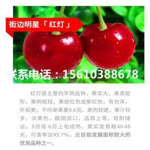 7公分樱桃苗那翁樱桃苗、那翁樱桃苗价格