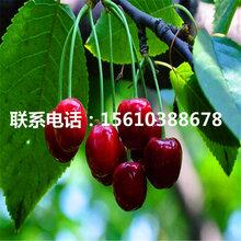 批发玛瑙红樱桃苗、玛瑙红樱桃苗供应价格