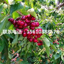 销售吉塞拉5号樱桃苗、吉塞拉5号樱桃苗什么价格