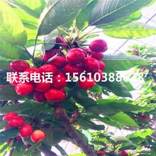 销售黑珍珠樱桃苗、黑珍珠樱桃苗供应批发图片
