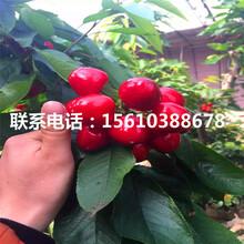 1公分樱桃苗红妃樱桃苗、红妃樱桃苗批发价格多少钱图片