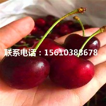 两年生樱桃苗红艳樱桃苗、红艳樱桃苗出售基地