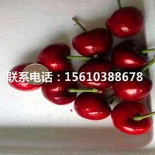 2公分樱桃苗桑德拉玫瑰樱桃苗、桑德拉玫瑰樱桃苗批发多少钱