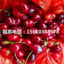 1公分樱桃苗俄罗斯8号樱桃苗、俄罗斯8号樱桃苗供应批发