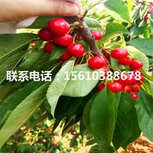 2公分樱桃苗早红宝石樱桃苗、早红宝石樱桃苗价格图片
