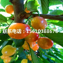 3公分樱桃苗红南阳樱桃苗、红南阳樱桃苗上车价格图片