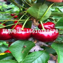 3公分樱桃苗矮化樱桃苗、矮化樱桃苗价格哪里便宜