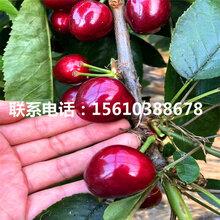 2公分樱桃苗早大果樱桃苗、早大果樱桃苗种植技术