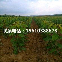 8公分樱桃苗樱桃树苗、樱桃树苗销售价格