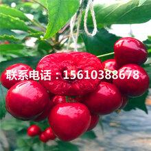 求购吉塞拉12号樱桃苗、吉塞拉12号樱桃苗批发