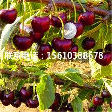 三年生樱桃苗美国大红樱桃苗、美国大红樱桃苗出售价格