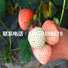 供应哈尼草莓苗、哈尼草莓苗上车价格