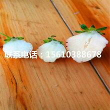 京凝香草莓苗行情、京凝香草莓苗基地