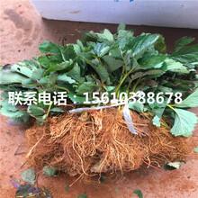 山东妙香7号草莓苗厂家图片