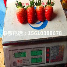 红脸颊草莓苗品种、红脸颊草莓苗一亩地栽多少棵