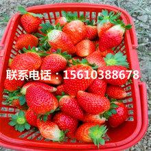 太空2008草莓苗品种、太空2008草莓苗一亩地产多少斤