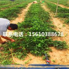2019年丰香草莓苗供应商